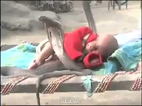 VIDEO INCREDIBIL! Patru serpi COBRA protejeaza un copil de cateva luni