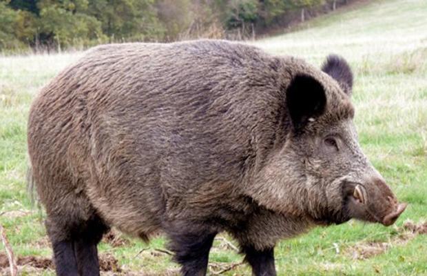 Noi măsuri de combatere a pestei porcine africane în județul Satu Mare