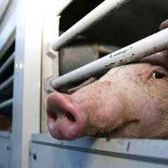 Pesta porcină africană evoluează în 295 de localităţi din 18 judeţe, printre care şi judeţul Satu Mare