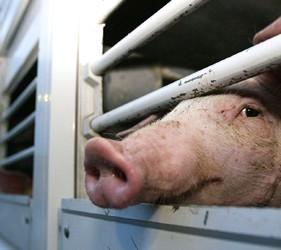 ANSVSA recomanda crescatorilor de porci sa raporteze orice suspiciune de pesta porcina