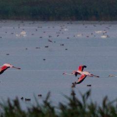 Patru păsări Flamingo au fost fotografiate în Delta Dunării
