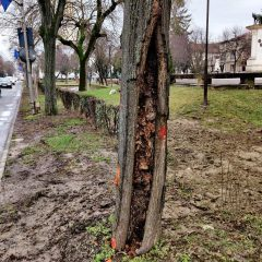 Primăria Municipiului anunță lucrări de toaletare și eliminare a unor arbori